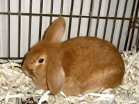 Lop Eared - Peeps - Small - Young - Male - Rabbit