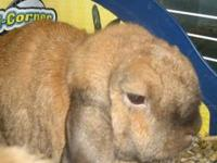 Lop Eared - Sugar - Medium - Adult - Male - Rabbit