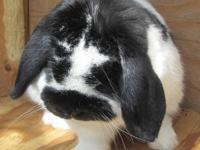 Lop Eared - Sully - Medium - Adult - Male - Rabbit Hi,