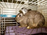 Lop Eared - Tibby - Medium - Young - Female - Rabbit