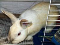 Lop Eared - Wabbit - Medium - Young - Male - Rabbit