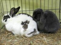 Lop Eared - Sophie - Medium - Young - Male - Rabbit