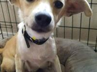 Lorna Doone: Terrier Mix, Female, Tan and White, 12