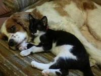 Neutered Male 8 Month Old Tuxedo Kitty Lost. Very