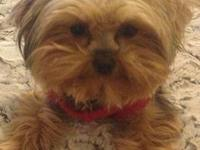 She is a Yorkshire terrier lost on February 8, 2013 in