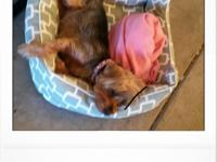 Lost my Yorkie in the north Stockton area of Holman Rd