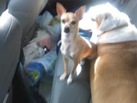 Needing your help, for lost Chihuahua, in Santa Teresa,