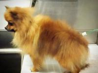 My Sable/orange male unaltered Pomeranian went missing