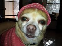 LOST CHIHUAHUA! RAMONA is a 7 year old Tan with white
