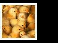 BRING THE KIDS AND PICK OUT YOUR BABY CHICKS LOTS TO