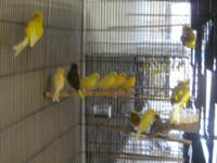 Lots of canaries males and females opal canaries mosaic