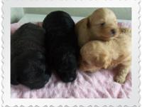 I AM TAKING DEPOSITS ON THESE 7 ADORABLE LITTLE PUPS.