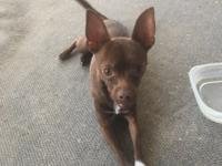 Louie is a handsome Chi with chocolate brown fur and