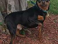 Louie's story Louie: 3 yr old (estimate) black & tan