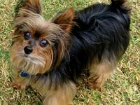 Meet Louie, a healthy, active 11 yr. old male Yorkie