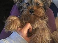 My story Louis is a spunky little 4 lb yorkie who has