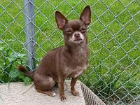 LOUISE's story LOUISE Female Spayed CHIHUAHUA Brown