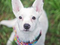 Louise - Corgie Mix - Female - 1 year - www.twyla.org