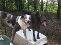 I have two intact male catahoula leopard hog dogs for
