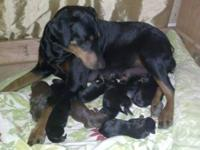 2 Beautiful AKC Registered Gladiator Doberman Pincher