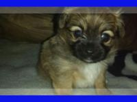 I have a sweet, lovable baby boy chihuahua available