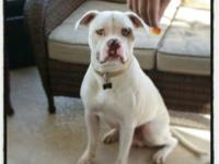 Prince is one years of age American Bulldog. He is