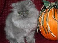 Precious Blue female Persian is now ready for its
