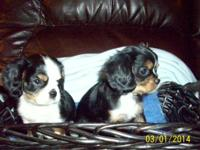 House elevated not so serious king charles spaniels.