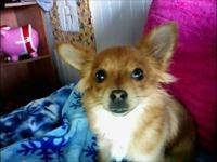 This cute little gal might be component Pomeranian, the