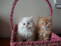 I have two cute kittens for sale. Mother is a white