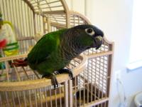 We bought Cromwell, our baby Green Cheek Conure, just a