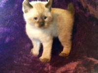 I have 3 lovable mountainous lynx kittens available.