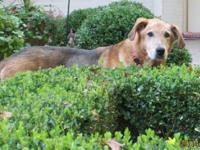 Homey Senior Golden Retriever Mix Seeks Quiet Home in