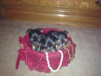 I have 3 lovely tiny women Yorkie dogs for sale. Mom
