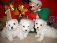 Purebreed Maltese Puppies for sale, they are CKC signed