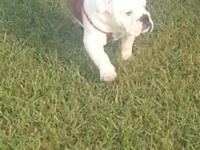 AKC Registered English Bulldog, female. Very lovable,