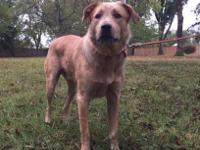Loveable Levon  Super Cute Red Heeler Mix Seeks Loving