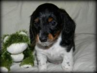 Bentley is an absolute precious 8 week old Longhaired