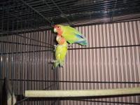 i have 3 breeding pairs of love birds that i am needing