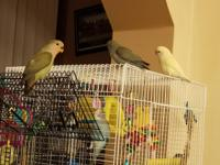 I HAVE BEAUTIFUL HAND FEED LOVE BIRDS READY FOR NEW