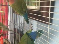 I have a pair of love birds for sale. One male and the