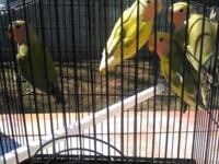 I have 4 baby love birds for sale, each bird for $30 or