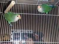 I have male and female love birds they are a bonded