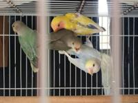 Love Birds for Sale! Opaline and Peach Face! See prices