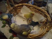 Baby love birds (Hand Fed) ready for there new homes !