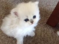 Love Persians Long Island, NY We sometimes have kittens