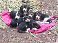 Purebred AKC beagle puppies. Both males and females are