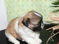 Shih tzu will be ready for a forever home on Dec. 24th.