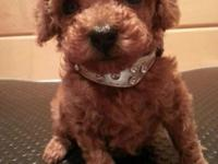 Lovely Red Male Toy Poodle Puppy. Born New Years Day: