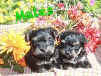 Sweet and Loveable Yorkiepoo Puppies. 3 females and 2